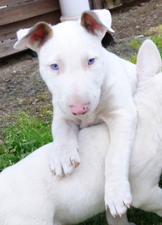 Blue Merle Bull Terrier Strictly Bull Terriers