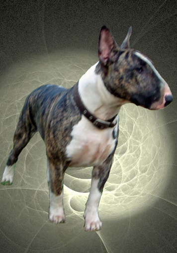 When Will My Bully Be Full Grown Strictly Bull Terriers